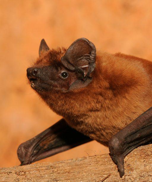 Zatepľovací boom ohrozil netopiere, dnes sú pod krídlami ochranárov